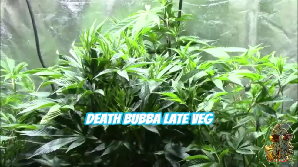 DEATH BUBBA GROW JOURNAL- LATE VEG