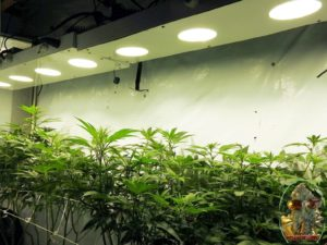 How Much LED Light For Weed And Is 750 W COB LED Lighting Too Much?