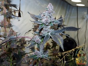 TROPICANNA COOKIES BY ONI SEED COMPANY GROW AND REVIEW