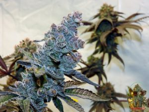 Harvesting Cannabis-How To Harvest, Dry And Cure Weed