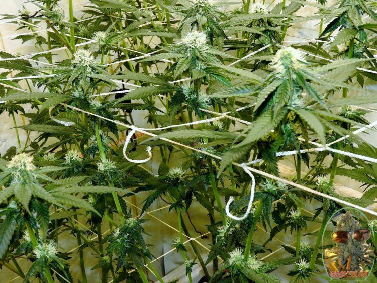 leaf stripping cannabis gelato #33 day 16