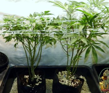 DIY SIP Grow System For Cannabis