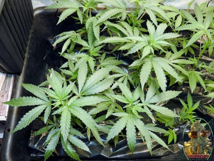 SOG Grow MAC 1 At 7 Days