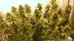 Top 3 Tips To Increase Cannabis Yield - Hint It's Not Nutes - Part1