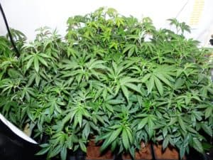 Increasing Cannabis Yield Tip 2 - How Many Plants Per Light