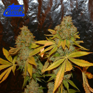 The Truth Video Grow Journal 2014 HTCC Cup Winner
