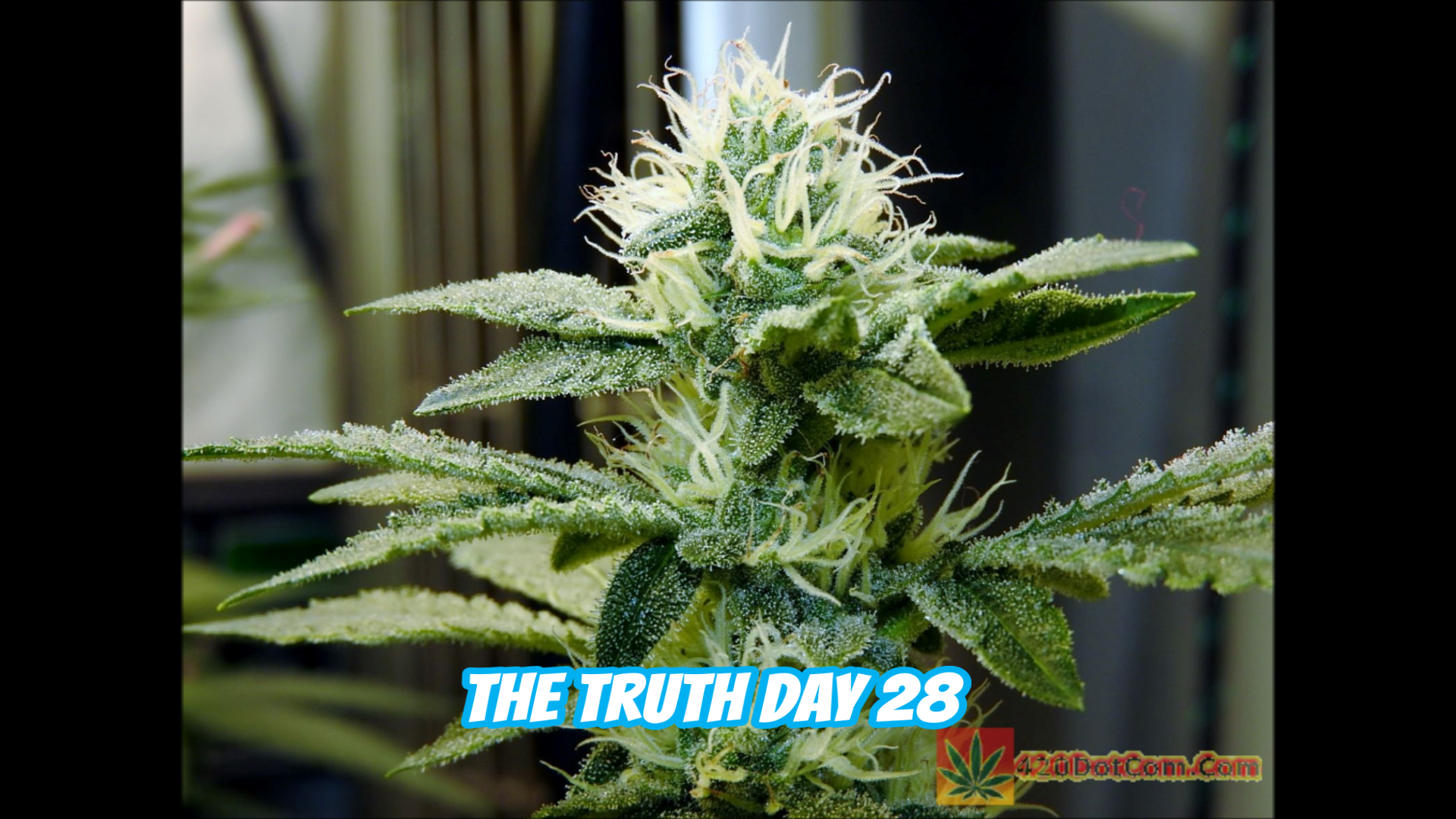 The Truth Day 28 Triangle Kush Cross On New Millenium Nutrients