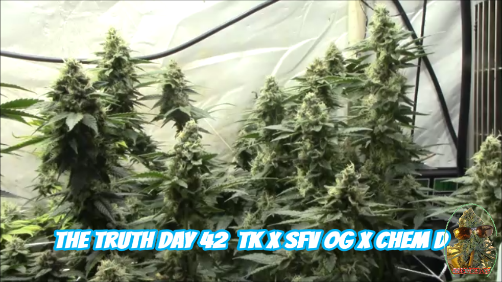 The Truth Triangle Kush Cross Day 42 Video