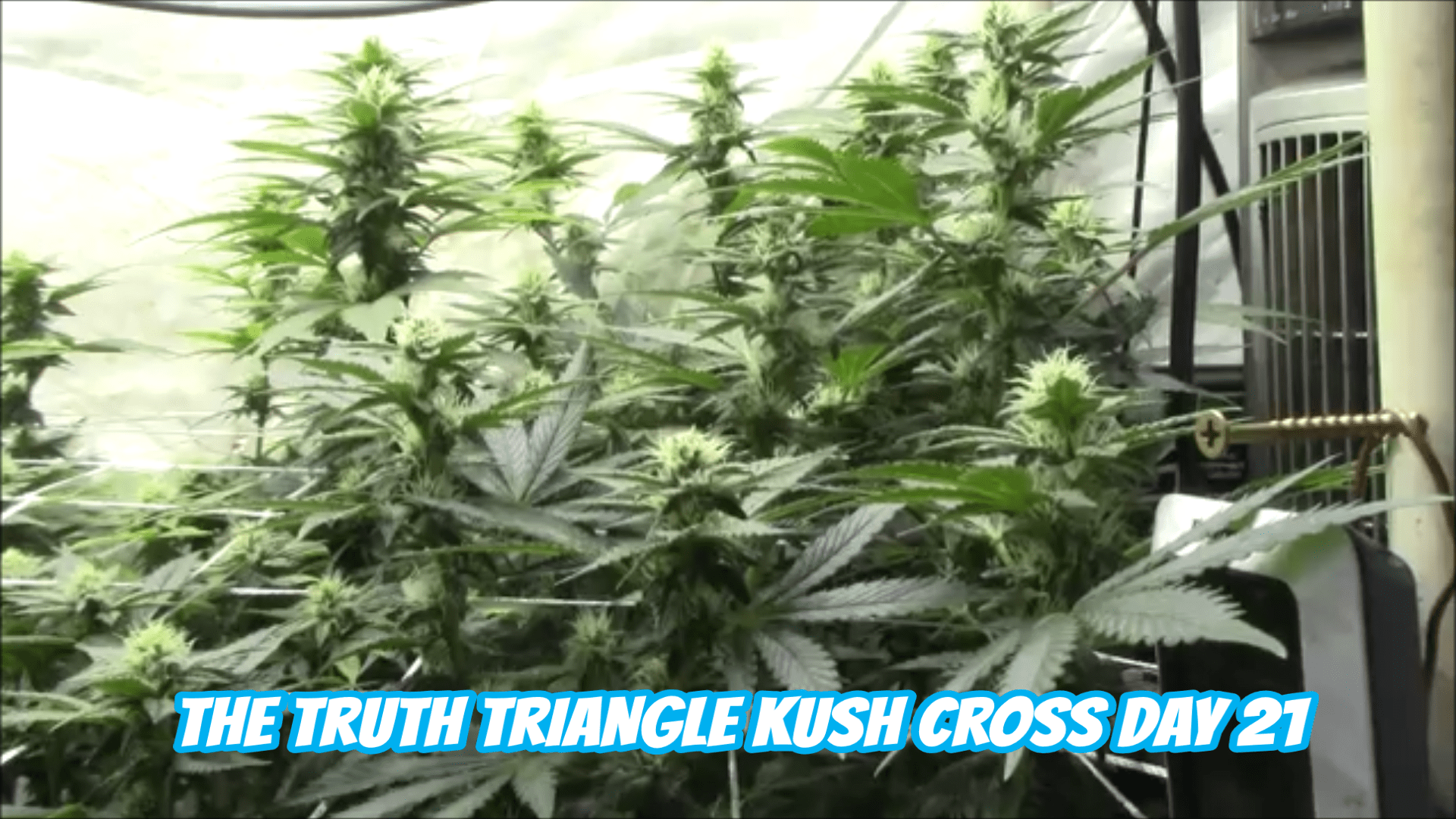 THE TRUTH TRIANGLE KUSH CROSS DAY 21